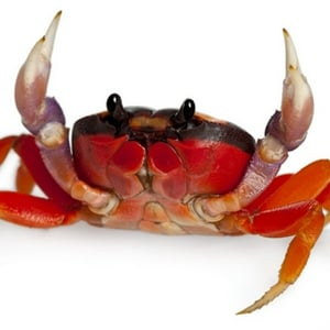 halloween-crab-for-sale.jpg